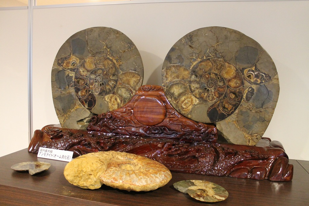 日本最大級アンモナイト(オーム貝化石)